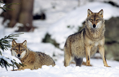 Couple de loups dominants