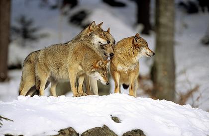 La vie du loup en meute