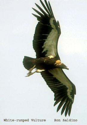 Le vautour chaugoun, espèce en voie de disparition en Inde