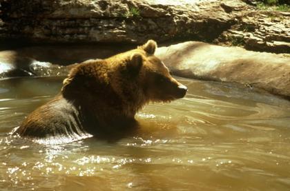 L'ours brun des Pyrénées, une espèce menacée
