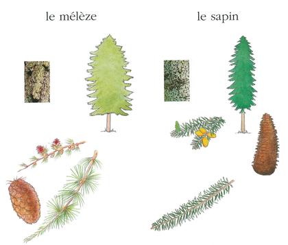 Le sapin et le mélèze - illustration 1