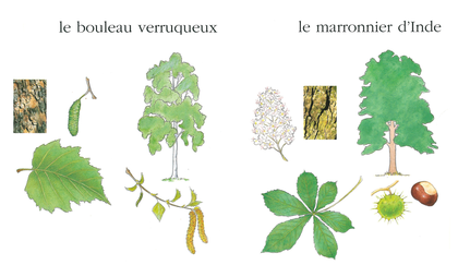 Le bouleau et le marronnier - illustration 1
