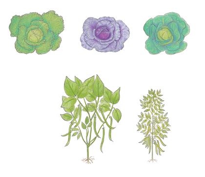 Choux, fèves et haricots - illustration 1