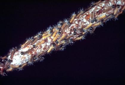 Éclosion de la ponte d'une chenille processionnaire du pin