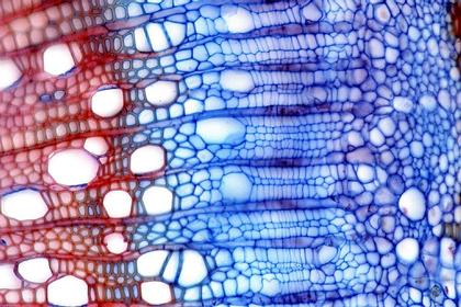 Le génome du peuplier