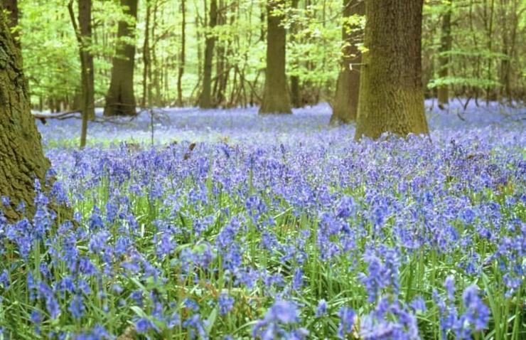 Image d0410 00007i01 La jacinthe des bois Base documentaire en sciences Ressources pour  # Jacinthe Des Bois Blanche