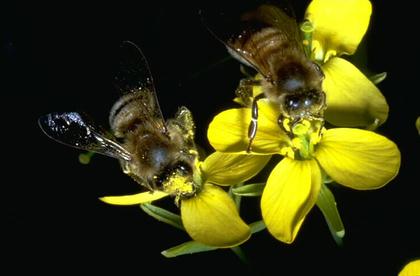 Abeilles butinant des fleurs de colza