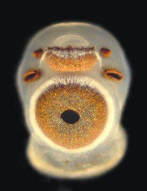 La méduse cubique et ses 24 yeux