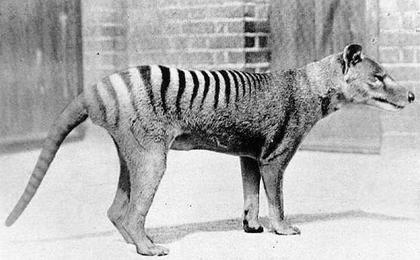 Le dernier tigre de Tasmanie