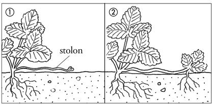 La reproduction d'une plante à tige rampante - illustration 1