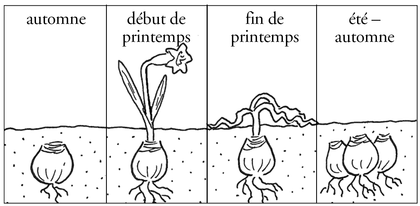 La reproduction des plantes à bulbe - illustration 1