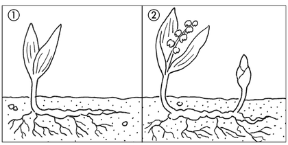La reproduction des plantes à rhizomes - illustration 1