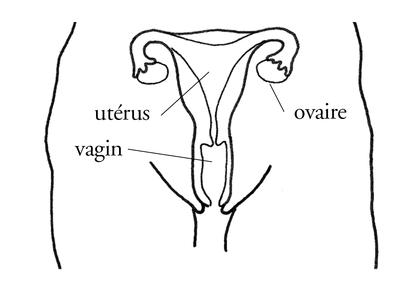 L'appareil génital féminin - illustration 1