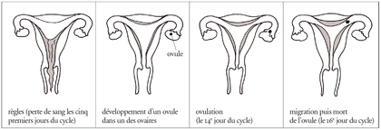Le cycle menstruel de la femme - illustration 1