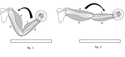 Flexion et extension des muscles du bras - illustration 1