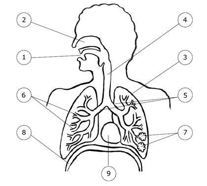 L'appareil respiratoire de l'homme - illustration 1