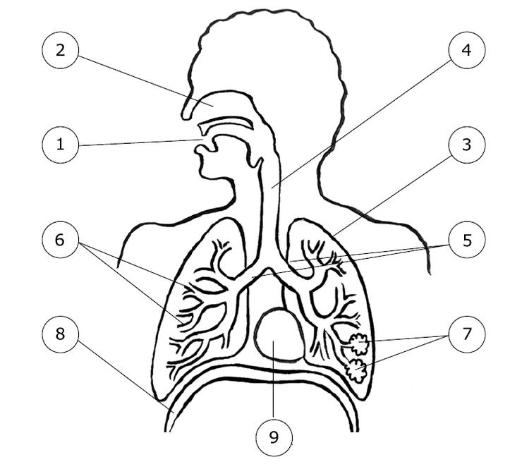 Bien-aimé L'appareil respiratoire de l'homme - Base documentaire en sciences  SK72