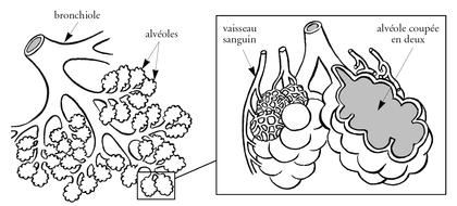 Les alvéoles pulmonaires - illustration 1