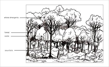 L'étagement de la végétation dans la forêt tropicale - illustration 1