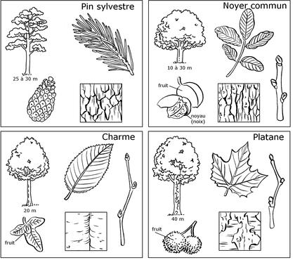 Comparaison de quatre arbres des régions tempérées - illustration 1