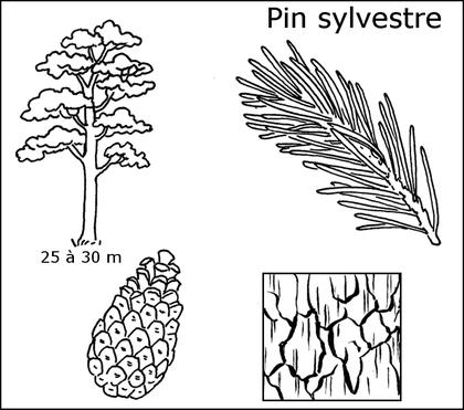 Fiche d'identité du pin sylvestre - illustration 1