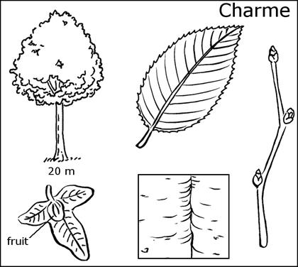 Fiche d'identité du charme - illustration 1