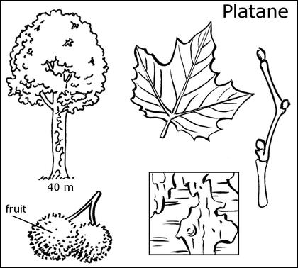 Fiche d'identité du platane - illustration 1
