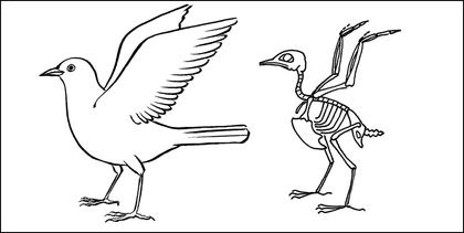 Le squelette du merle - illustration 1