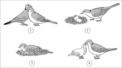 La reproduction des tourterelles - illustration 1