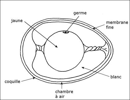 Un oeuf de poule fécondé - illustration 1