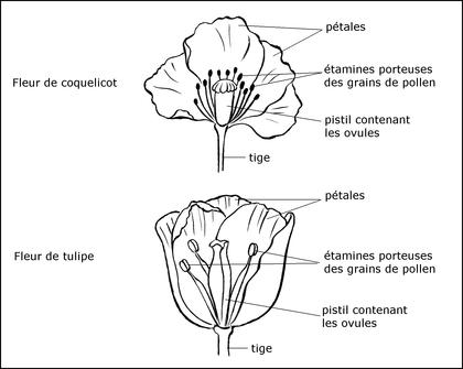 Fleurs de coquelicot et de tulipe - illustration 1