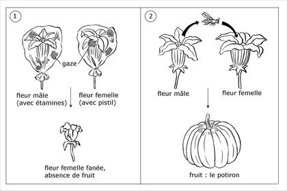 Comment se forme un potiron ? - illustration 1