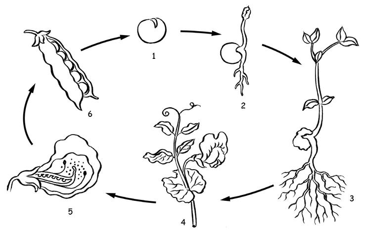 Image fde09sc16i02 le cycle de vie du petit pois base for Le divan 09 02 16