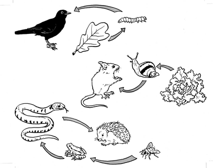 Trois exemples de chaîne alimentaire - illustration 1
