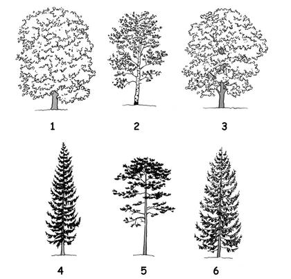 Feuillus et conifères - illustration 1