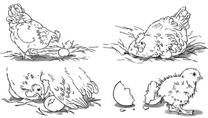 Le développement d'un poussin - illustration 1