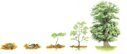 Du gland au chêne - illustration 1