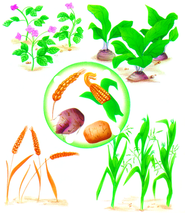 Céréales et tubercules - illustration 1