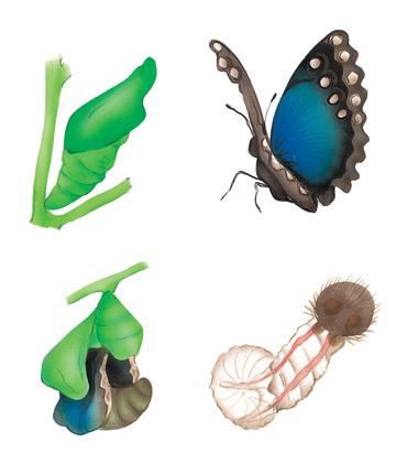 La transformation du papillon - illustration 1