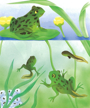 Du têtard à la grenouille (2) - illustration 1