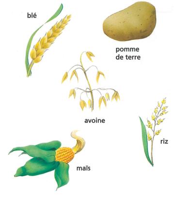 Les céréales - illustration 1