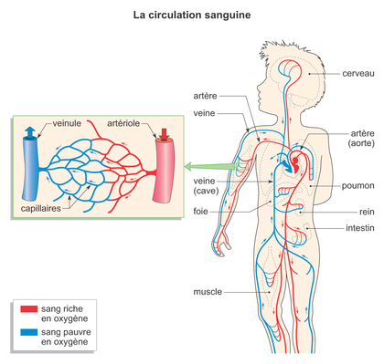 La circulation sanguine - illustration 1