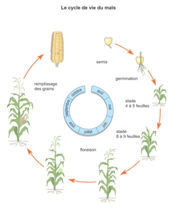 Le cycle de vie du maïs - illustration 1