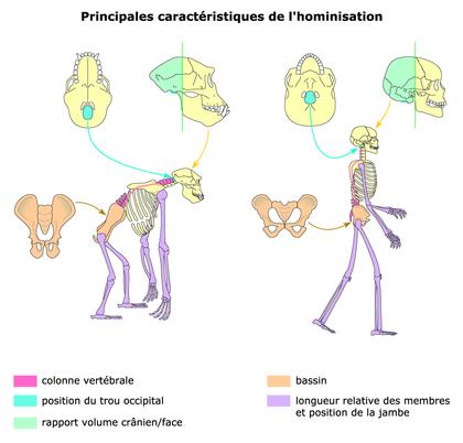 Les principales caractéristiques de l'hominisation - illustration 1