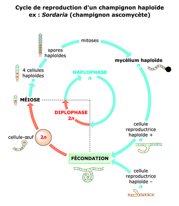 Le cycle de reproduction d'un champignon haploïde - illustration 1