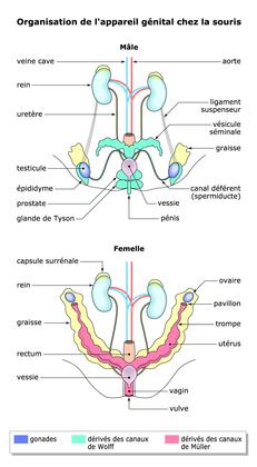 L'organisation de l'appareil génital chez la souris - illustration 1
