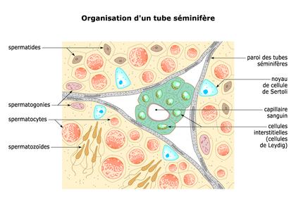 L'organisation d'un tube séminifère - illustration 1