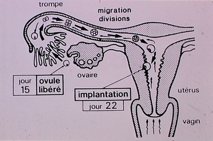 Ovulation, fécondation et implantation - illustration 1