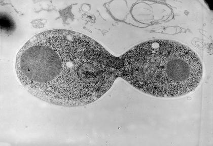 Division d'une cellule de levure - illustration 1