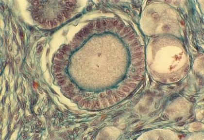 Ovocyte II - illustration 1